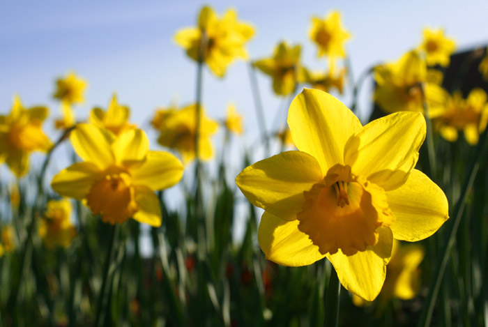 Spring daffodils plant anytime